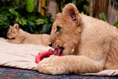 Lion duo chew