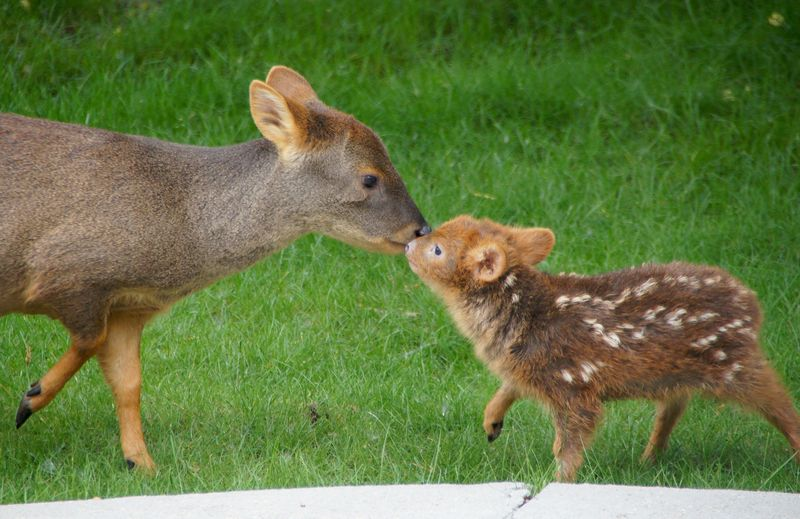 Pudu baby and mother