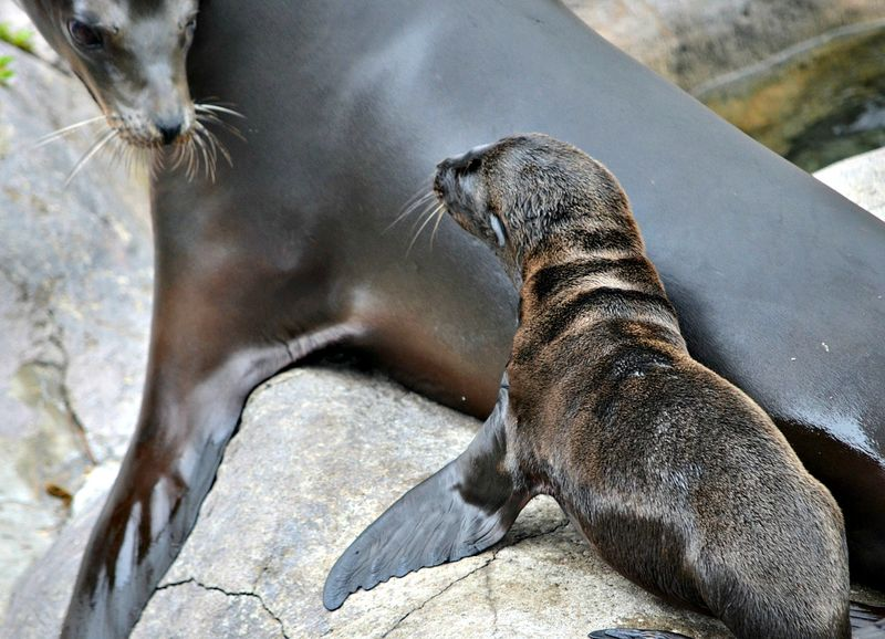 Sea lion pup at SPZ (Kelli O'Brien) (4)