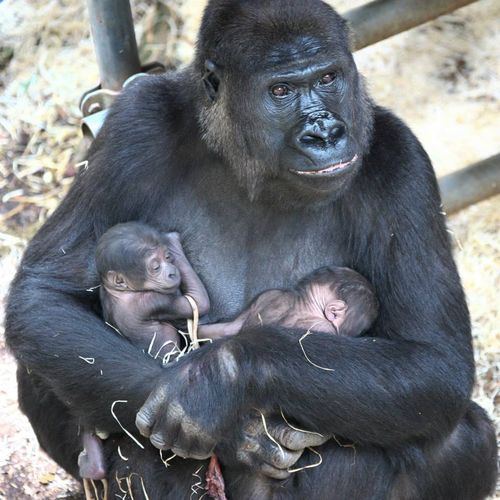 Rare Gorilla Twins Surprise Staff at Burgers' Zoo - ZooBorns