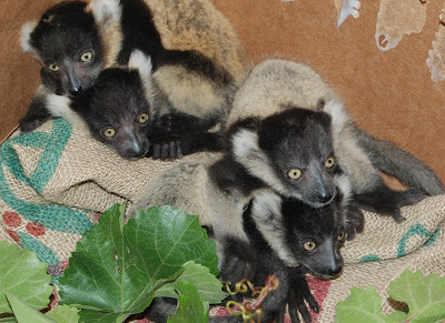 BWRuffed Lemurs 06102013 (10)