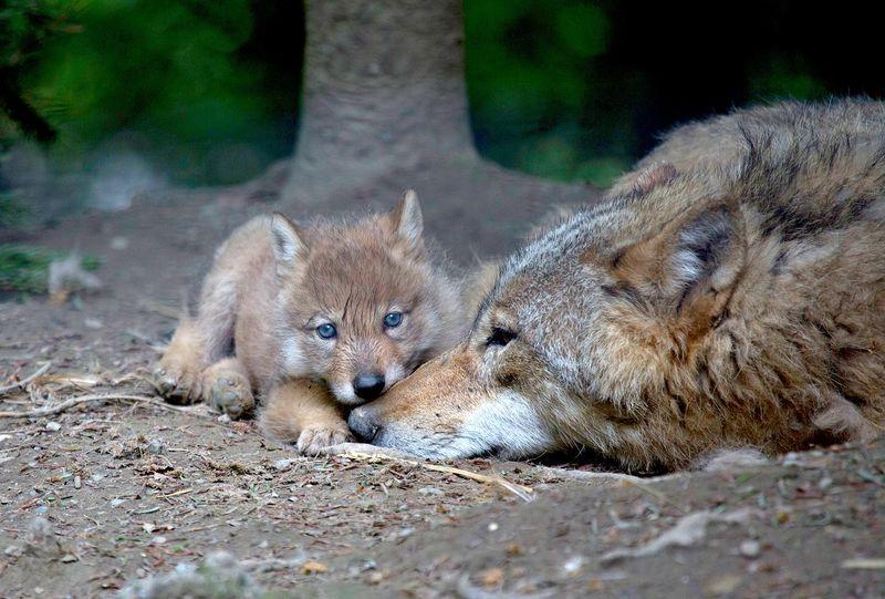 Wolf rest
