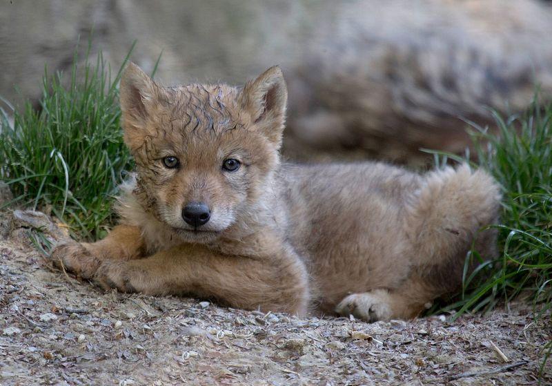 Wolf pup portrait