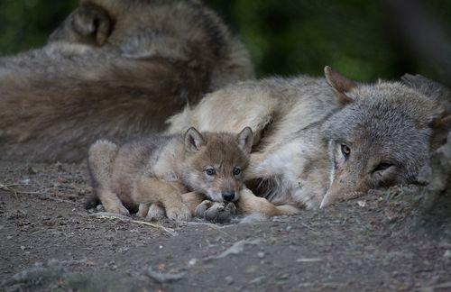 Wolf nap