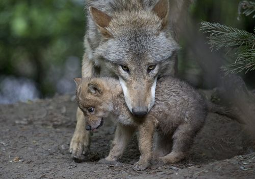 A Wolf Pup For Zoo Zurich Zooborns