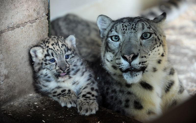 DZG snow leopard 1PR
