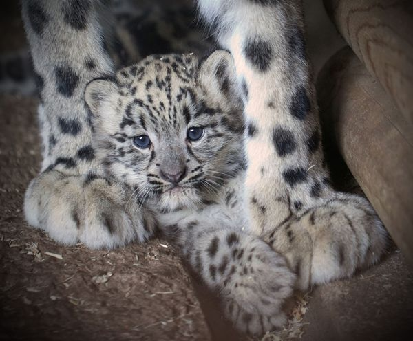 Snow Leopard Cub and Mom Play at Dudley Zoological Gardens