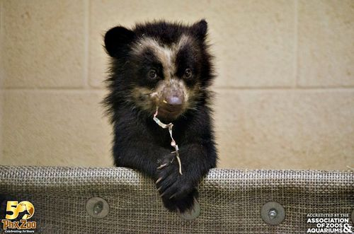 Phoenix-Zoo---by-Joseph-Becker---Andean-bear-cub---02