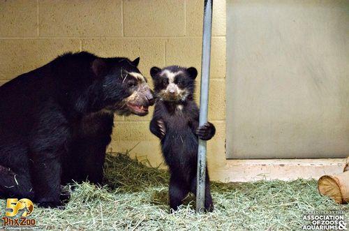 Phoenix-Zoo---by-Joseph-Becker---Andean-bear-cub---08