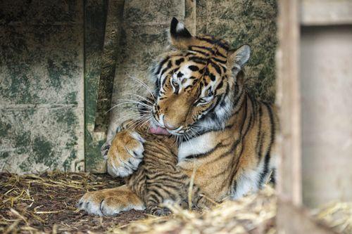 Tiger_Cubs3_Alex_Riddell