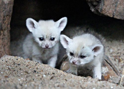 Fennec foxes 1