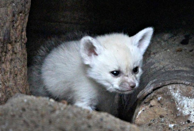 Fennec fox 4