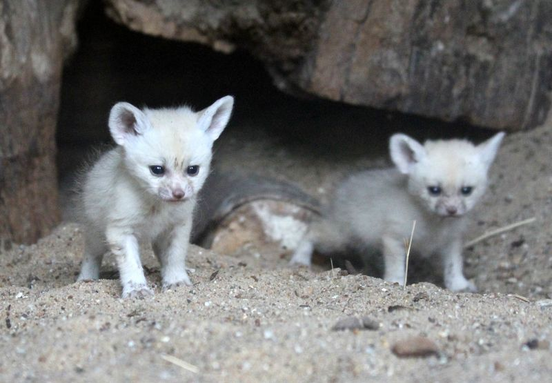 Fennec foxes 2