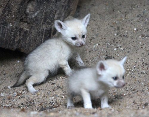 Fennec foxes 3