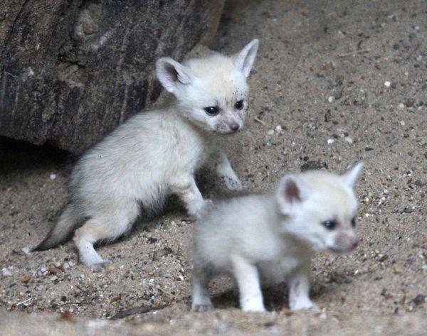 Shy Fennec Fox Kits Emerge at Artis Zoo