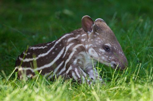 2 tapir