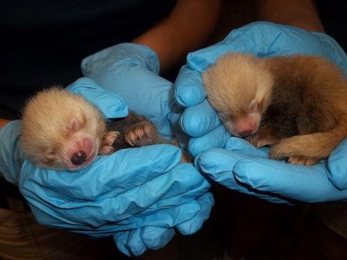 KCZoo Red Panda Cubs