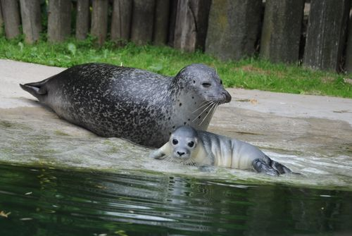 Seal w mom