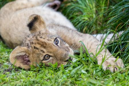 Cub resting