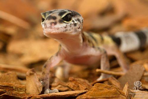 20130710_121811_leopard_gecko_Foto_Carlos_Nader