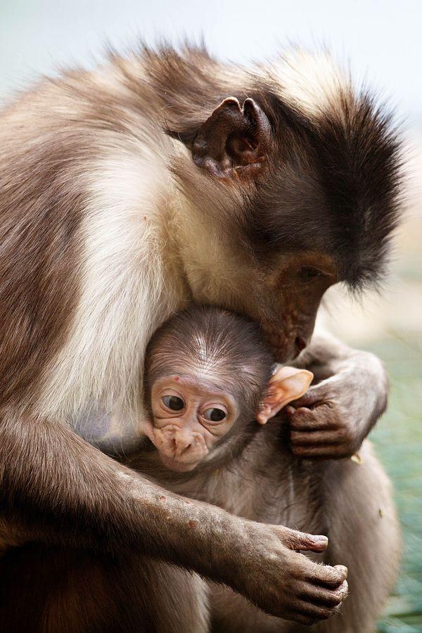 Dublin Zoo Celebrates the Birth of Two White Crowned Mangabeys