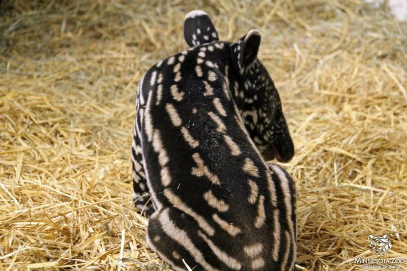 Tapir back