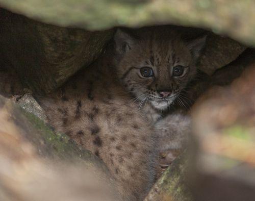 10 lynx