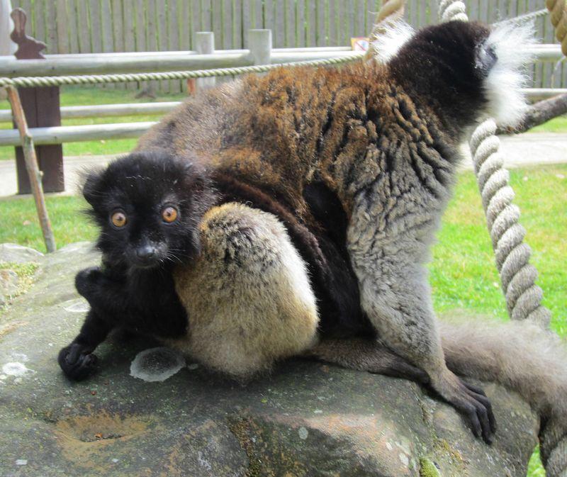 Baby black lemur with mum Clementine at Drusillas Park