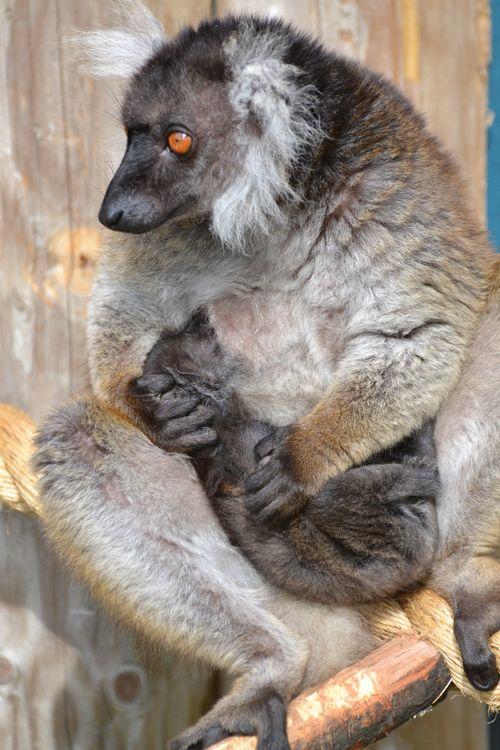 Black Lemur 18.05.13 15