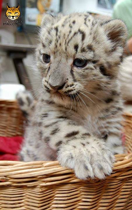 Snow Leopard Triplets Debut at Zoo Magdeburg