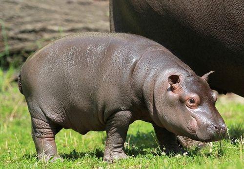 Hippo hero