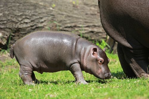 Hippo side