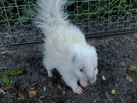 1 skunk