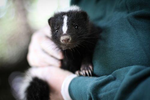 2 skunk