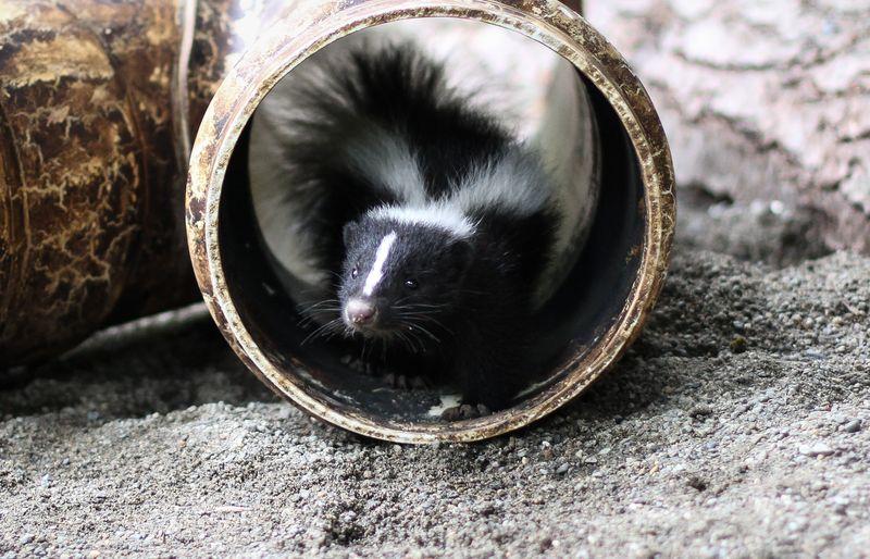 7 skunk