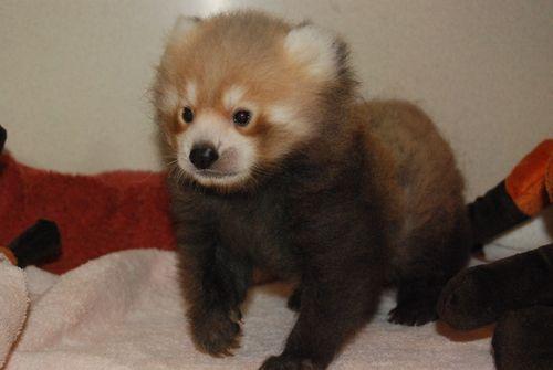 5 red panda