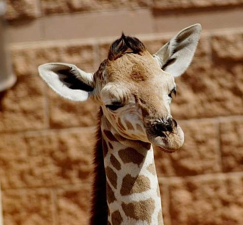 7 giraffe