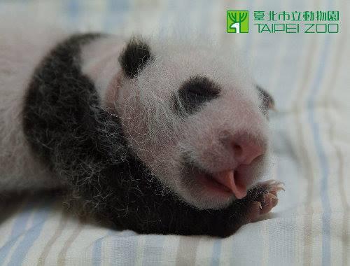 Panda 7