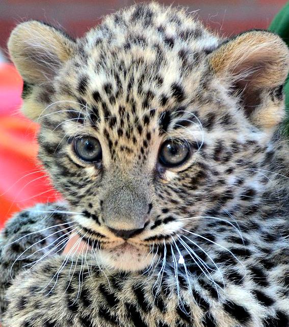 1leopardnevado07 foto Bagosi Zoltan