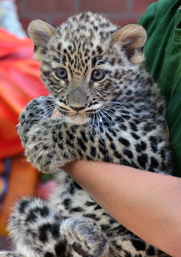 Little Leopard Emerges from the Den at Budapest Zoo