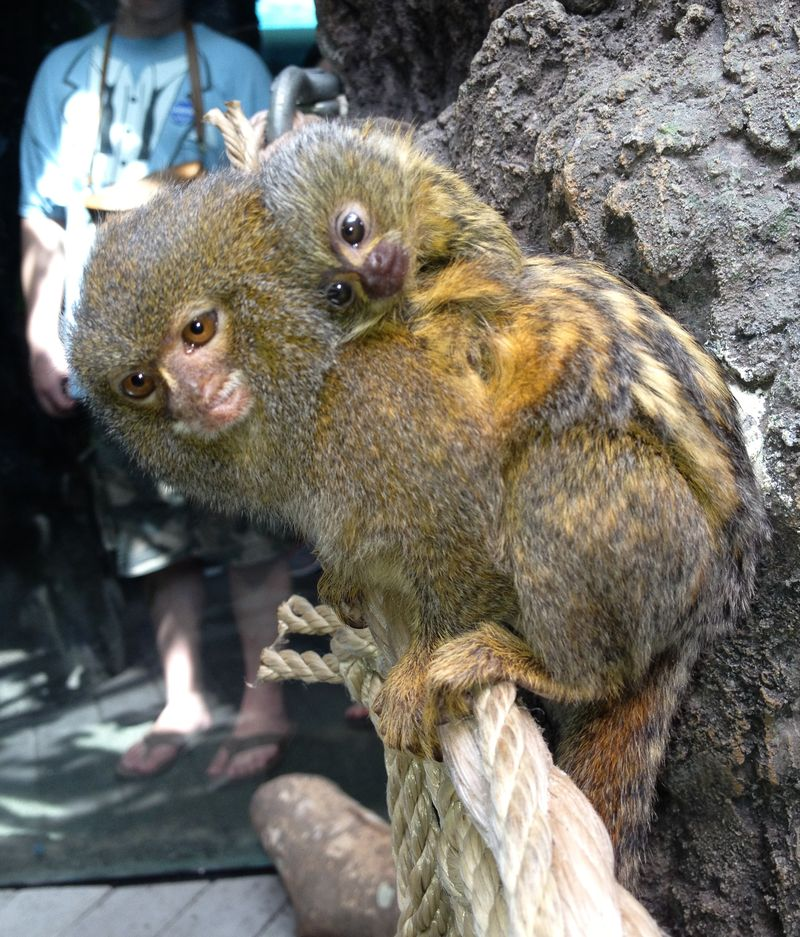 Houston Zoo Pygmy Marmoset Baby-2063