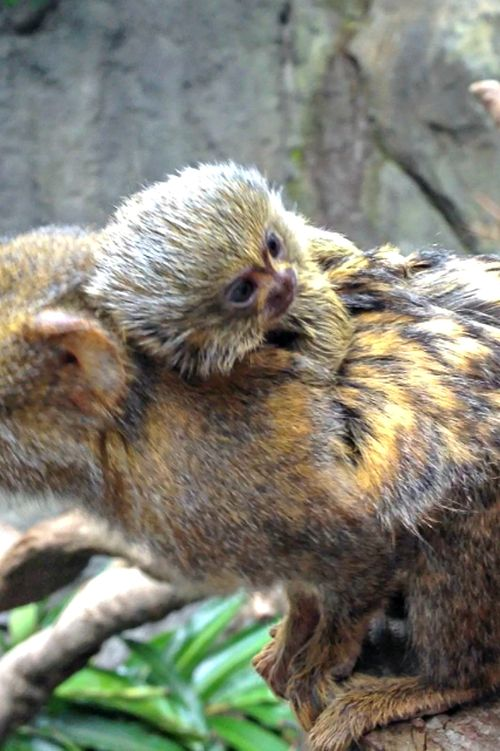 Houston Zoo Pygmy Marmoset Baby-2072