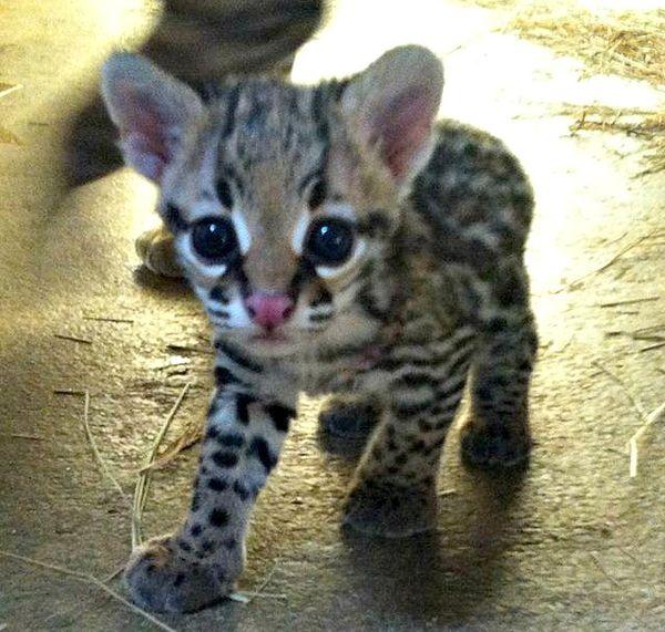"""Miracle"" Ocelot Kitten Born at Cameron Park Zoo"