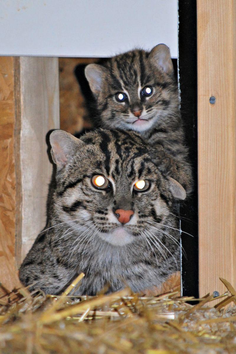 1 fishercat