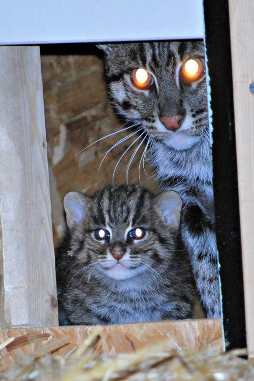 4 fishercat