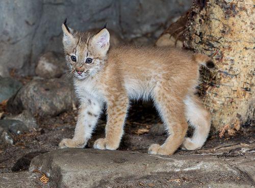 Lynx cat - photo#27
