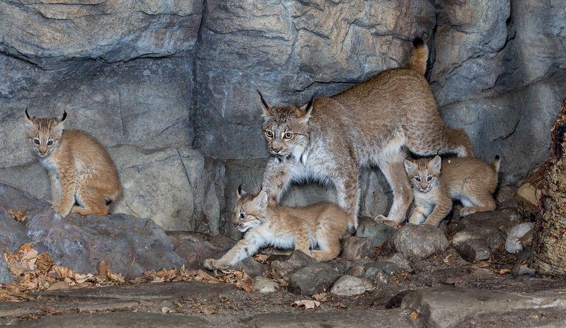 6 lynx