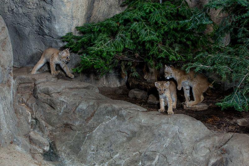 11 lynx