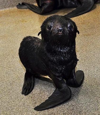 Fur seal 1