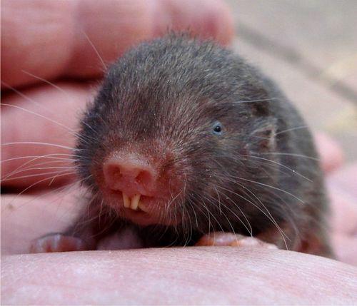 Mole rat Second best